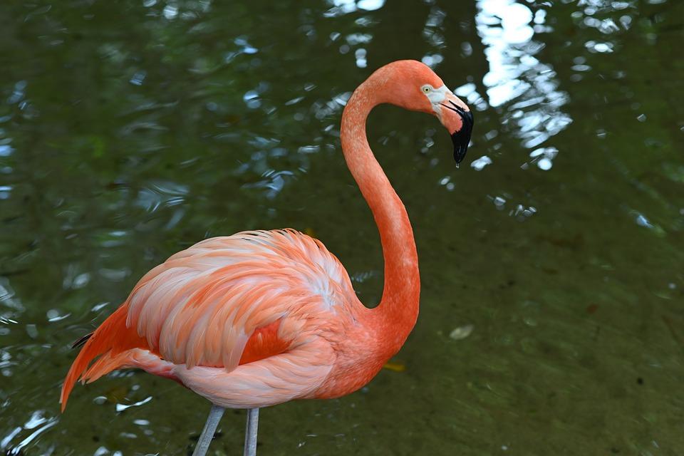 flamingo-4241034_960_720